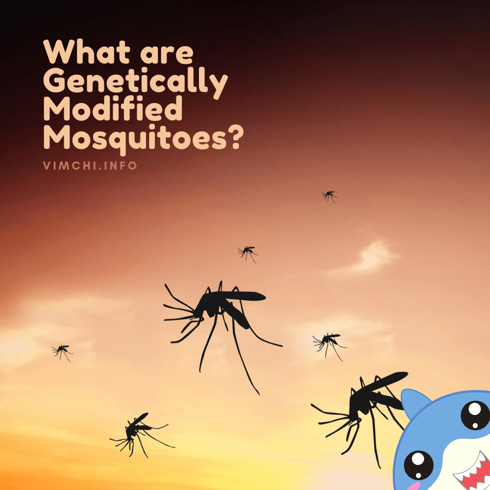 genetically modified mosquitoes what are they