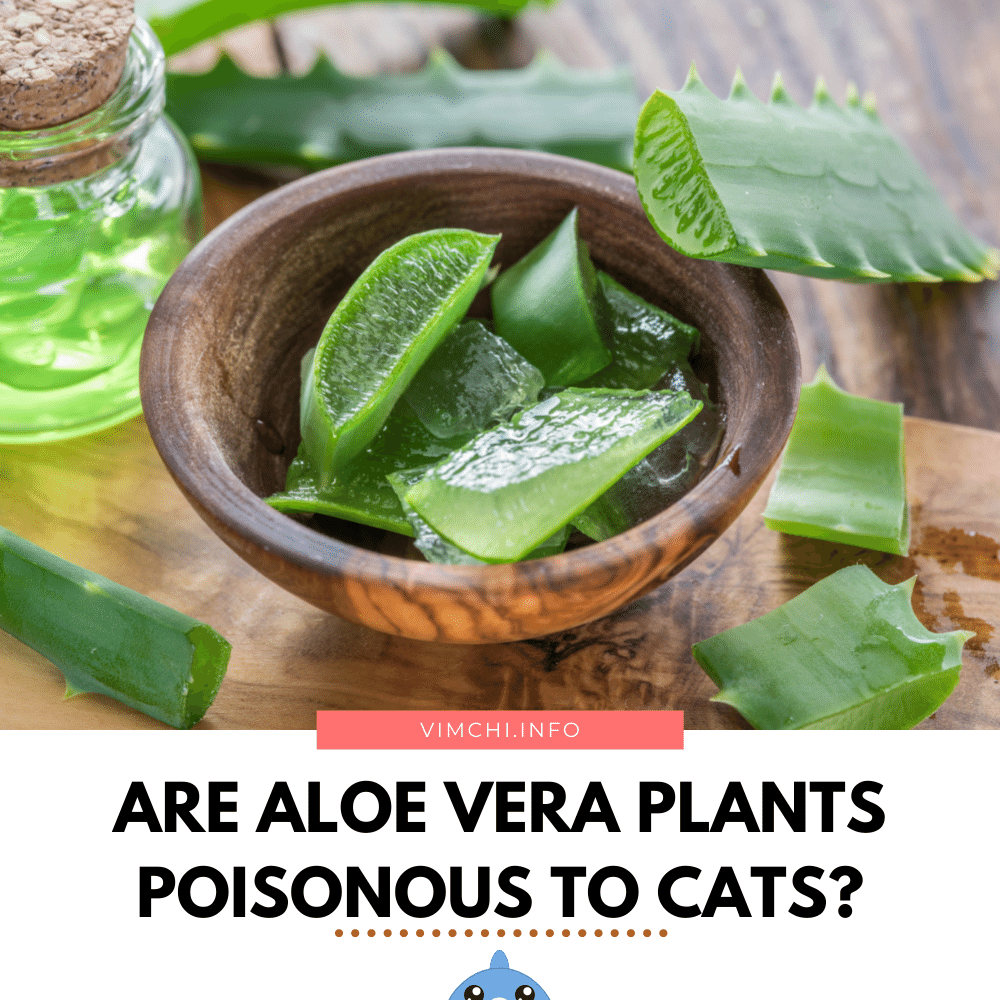 are aloe vera plants poisonous to cats